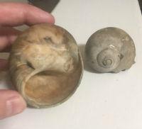 moon sharkeye seashell photo