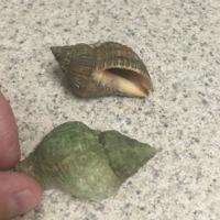Nutmeg shell photo
